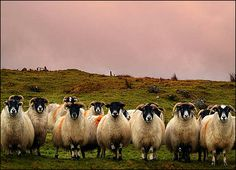Bernie McAllister took this picture of sheep grazing near Cappanagh Forest, County Antrim.