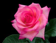 ♡ Tiffany Roses ♡