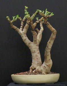 crassula ovata bonsai - Google Search