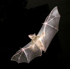 Bat Facts for Kids Bat Facts For Kids, Bat Anatomy, Human Anatomy, Bumblebee Bat, Bat Species, Endangered Species, Bat Costume, Costume Ideas, Costumes