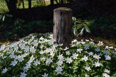 Vielä valkovuokkoa | Vesan viherpiperryskuvat – puutarha kukkii