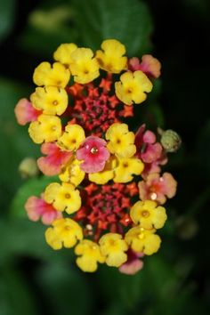 Lantana's....grow best in sun.....great heat & drought tolerance! Lantana is one of my favorite perennials.  I have several in my flower bed and they are huge by the end of summer! :)