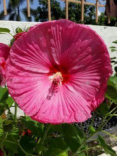 Big Pink Hibiscus.