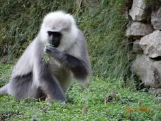 Asia | A Chamba sacred langur (Semnopithecus ajax) raiding a mustard field. Other animals, including black bears, porcupines and macaques also raid farmers' fields, yet the langurs receive most of the blame. (© Himalayan Langur Project)