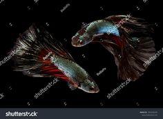 Beautiful movement of 2 Halfmoon Betta Fishes on a black background.
