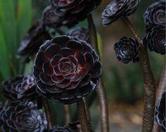 black for the garden - Aeonium arboreum 'Zwartkop'- One of the most striking of all succulents!