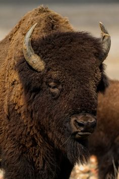 "sublim-ature: "" Bison Head Shot by Howard Smith "" Buffalo S, Buffalo Animal, Buffalo Wyoming, Buffalo Bills, American Bison, Native American Art, Large Animals, Animals And Pets, Wild Animals"