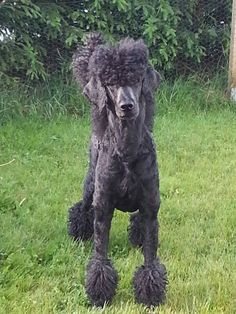 Kuro from Sweden Standard Poodles, Dog Things, Dog Grooming, Dog Love, Doodles, Notes, Puppies, Holidays, Board