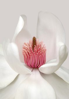 "Image By Brian Haslam Magnolia campbellii var. ""Alba"" - I love magnolia blossoms. Amazing Flowers, My Flower, Pretty Flowers, White Flowers, Exotic Flowers, Beautiful Flowers Photos, Macro Flower, Colorful Roses, Unique Flowers"