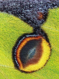 Eyespot by jimmy hoffman /Wing detail of Emperor Moth