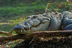 Mugger (Marsh) Crocodile (Crocodylus palustris), Rapti River, Chitwan National park, Nepal