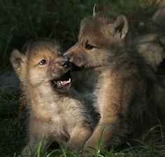 L〰Beautiful Wolves — johnnyslittleanimalblog:  hudsonbay wolf artis...