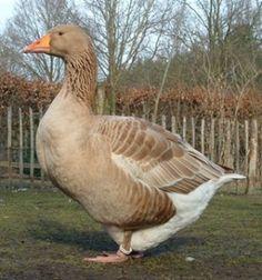 American Buff Geese American Buff Geese
