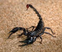 scorpion/サソリ