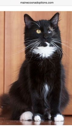 2/21/15 THIS WONDERFUL GIRL IS STILL WAITING!!! ******* August 2014 Oakland, CA. Christiana is a one-year-old tuxedo Maine Coon mix. She recently had eye surgery and is recovering well. She is a happy and joyful kitty! Available for adoption in Northern California. www.MaineCoonAdoptions.com