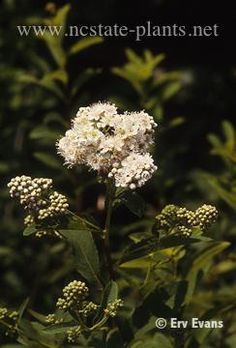 Blue haw; Witherod viburnum  Habit: Deciduous  	Exposure: Sun to partial shade; moist soil, tolerates wet sites  	Height: 5 to 6'  	Flower/Fruit: Creamy white flowers in spring; green fruit turns to iridescent pink to red then blue and black