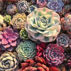 Suculentas y cactus Types Of Succulents, Growing Succulents, Cacti And Succulents, Planting Succulents, Cactus Plants, Planting Flowers, Flower Bookey, Flower Film, Cactus Flower
