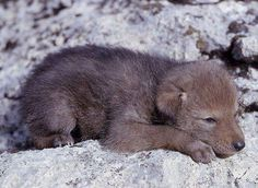 Wolf pup.