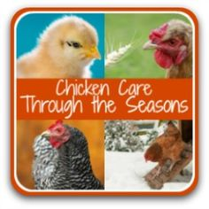 Step by step tasks one month at a time to raising happy, healthy chickens. Chicken Garden, Backyard Chicken Coops, Chicken Feed, Diy Chicken Coop, Food For Chickens, Raising Backyard Chickens, Keeping Chickens, Names For Chickens, Clipping Chickens Wings