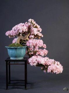 Árvore de bonsai florífera em cascata