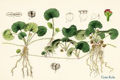 GOTU KOLA is prized as an important anti-aging herb in ayurvedic medicine for its ability to promote collagen production. It is also used as one of the main ingredients in ANTI-AGING HYALURONIC SERUM Ayurvedic Herbs, Healing Herbs, Medicinal Herbs, Ayurvedic Medicine, Botanical Drawings, Botanical Prints, Herbs Illustration, Flora, Herbs For Health