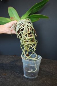 Is It Time To Repot Your Just Add Ice Orchid Orchid Roots Phalaenopsis Orchid Care Repotting Orchids