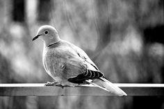 #bird #blackandwhite #dove #wintertime