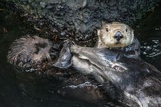 Sea otters high five  - December 28, 2014