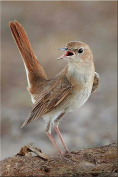 Thrush nightingale (Luscinia luscinia)