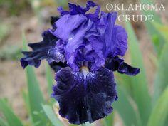 TB Iris germanica 'Oklahoma Crude' (Black, 1988)