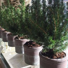 Love the smell that real Christmas trees give to the store 🎄🎄🎄 #christmas #christmastree #natural #simple #fresh #authentic #plainandsimplehome #oakville #toronto #canada