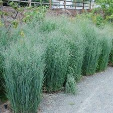 Panicum virgatum Heiliger Hain switch grass from New Moon Nurseries Moon Nursery, Tequila Sunrise, Weed Killer, Rain Garden, Black Eyed Susan, Ornamental Grasses, Native Plants, Heavy Metal, Backyard Landscaping