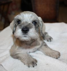 Callie, one of our 5 week old Mini Schnauzer puppies
