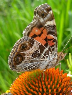 Painted lady butterfly, interesting article on the painted lady butterfly in the December 2013 Awake Magazine at JW.org click on publications.