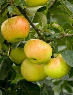 Omenapuu Keltakaneli - Viherpeukalot