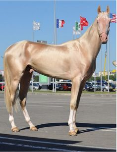 the golden akhal teke | Supermodel of the Horse World: the Golden Akhal-Teke