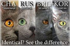 Differents between blue cats. Chartreux - Russian Blue - British Shorthair - Korat