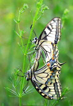 The Old World Swallowtail (Papilio machaon) by Nikolay Shopov on 500px
