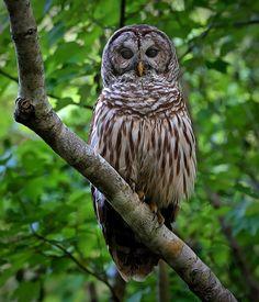 Barred Owl (Strix varia). Photo by Ashley Hockenberry.