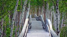 Bing fotos: Raised boardwalk and white birch trees in Sackville Waterfowl Park, Sackville, New Brunswick, Canada (© Dale Wilson/Getty Images. East Coast Canada, Canada North, Wonderful Places, Beautiful Places, Beautiful Family, Perspective, New Brunswick Canada, White Birch Trees, Atlantic Canada