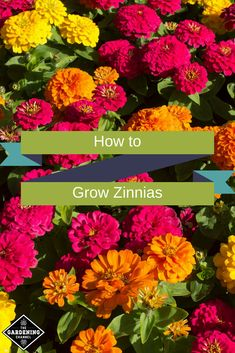 How to Grow Zinnias Zinnias are easy flowers to grow. They bloom from early summer until the first of fall and most Zinnia varieties make long lasting cut flowers. garden The post How to Grow Zinnias appeared first on Ideas Flowers. Beautiful Flowers Garden, Simple Flowers, Summer Flowers, Cut Flowers, Colorful Flowers, Beautiful Gardens, Fall Flowers, Flowers For Butterflies, Flowers Bucket