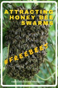 Attracting Honey Bee Swarms is one of the most exciting aspects of beekeeping. Learn how to make your site desirable to those bees. Carolina Honeybees