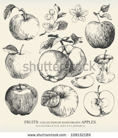 Collection of highly detailed hand drawn apples. by Liliya Shlapak, via Shutterstock
