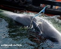 SIGN PETITION: Stop Greenland Killing Whales to Feed Tourists. http://www.thepetitionsite.com/990/261/537/stop-greenland-killing-whales-to-feed-tourists/# @seashepherd