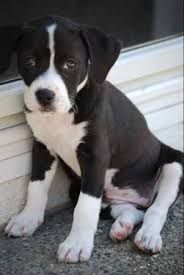 Designer Dog Photo Gallery - Browse our Designer Dog Beagle Bull Photo Gallery, Search Beagle Bull Pictures. Submit your own Beagle Bull Photos Pocket Pitbull, Bull Pictures, Labradoodle, Dog Photos, Dog Design, Beagle, Pugs, Pitbulls, Terrier