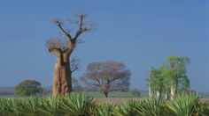 Adansonia digitata (baobab) - A remarkable tree with a large (up to 20-plus metres in circumference) trunk with grey bark. The foliage is large and divided into 5 - 7 leaflets, borne on single stalks. Large oval-shaped fruits, covered with velvety yellow hair, follow the Baobab's large white flowers that are produced during summer. Medicinal properties: inflammation, diarrhoea, urinary problems, fevers. Parts used: the whitish fruit pulp (surrounding the seeds) is made into a drink.