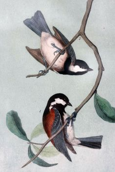 Titmouse Chikadee by Audubon 10 x 6.5 print in by VintageJestCafe