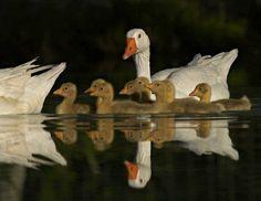 Beautiful ducks reflecting on the water