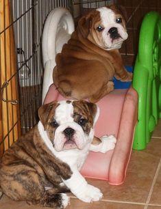 English Bulldogs ~ puppy playground..