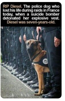 Puggle Lynyrd Skynyrd salutes fellow canine, Diesel, a brave guardian for freedom who made the ultimate sacrifice in the war on terrorism. Military Working Dogs, Military Dogs, Police Dogs, Diesel, War Dogs, Seven Years Old, All Hero, German Shepherd Dogs, German Shepherds